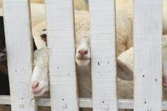 Många lamm på lantgården Arkivbilder