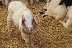 Många lamm på lantgården Royaltyfri Bild