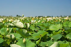 Många lat för blommaLotus nucifera Nelumbonucifera på sjön - perenn amfibisk växt av släktet mono Lotus Nelumbo Arkivbild