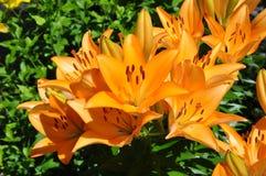 Många liljor (Lilium) av orange färg Fotografering för Bildbyråer