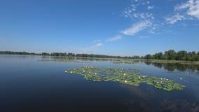 Många liljor växer på Volgaet River arkivfilmer