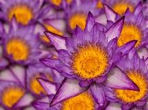 många lotusblomma purple Royaltyfri Foto