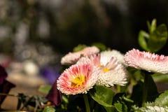Många mång--färgade blommor royaltyfria foton