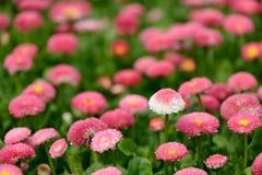 Blomma marguerite, tusensköna Fotografering för Bildbyråer
