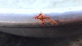 Många myror svärmde tillsammans arkivfilmer