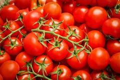 Många nya mogna tomater Arkivbilder