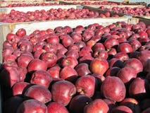 Många nytt valt rött - läckra äpplen i fack under nedgångskörd royaltyfri bild