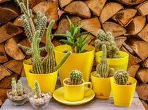 Många olika kakturs i gula blomkrukor Arkivfoto