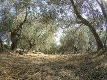 Många olivträd i ligurian lantgård royaltyfri bild