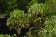 många palmträd Fotografering för Bildbyråer