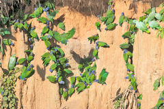 Många papegojor som äter lera, Peru arkivbild