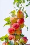 Många persikor på en filial Arkivbild