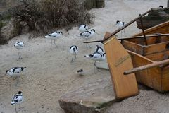 Många pied avocet på stranden royaltyfria foton