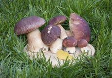 Många plocka svamp den vita porcinien på en träställning i gräset Royaltyfri Bild