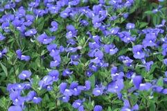 Många purpur blomma Royaltyfria Foton