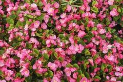 Många röda blommor Fotografering för Bildbyråer