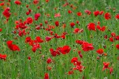 Många röda vallmo i ett fält om den molniga sommerdagen Arkivbilder