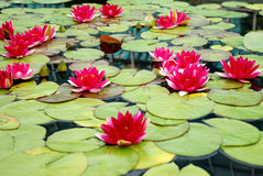 Många rosa Lilys Arkivbild
