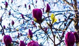 Många rosa magnoliablomningblomma Arkivfoto