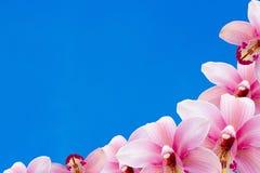 Många rosa orkidé med blå bakgrund arkivfoton
