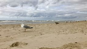 många seagulls som sitter på sanden på Nordsjökusten, Holland arkivbild