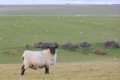 Många sheeps på lantgården Royaltyfri Foto