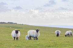 Många sheeps på lantgården Arkivbilder