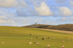 Många sheeps på lantgården Arkivfoton