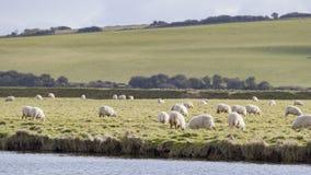 Många sheeps på lantgården Arkivfoto