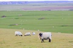 Många sheeps på lantgården Royaltyfria Bilder