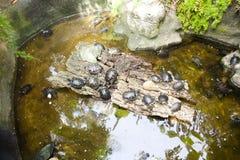 Många sköldpaddor i vattnet och på kust Arkivfoton