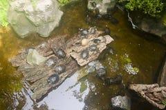 Många sköldpaddor i vattnet och på kust Royaltyfri Foto