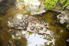 Många sköldpaddor i vattnet och på kust Arkivbilder