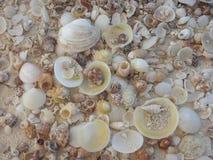 Många skal på den tropiska stranden Royaltyfri Foto