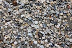 Många skal på kusten av stranden Royaltyfria Foton