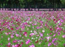 Många skuggor av rosa blommande kosmos i fältet, Thailand Royaltyfri Fotografi