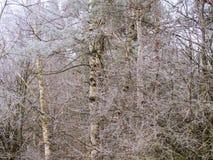 Många små filialer av träd som täckas med rimfrost royaltyfri foto