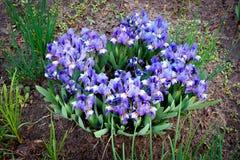 Många små iriers blommar på gräsmattan mot barn f?r fj?der f?r bakgrundsbegreppsblomma vitt gult royaltyfria bilder