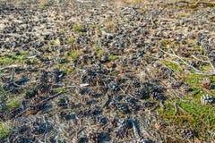 Många små sörjer kottar på skoggolvet Arkivfoto