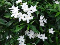Många små vita blommor med gröna sidor Arkivfoto