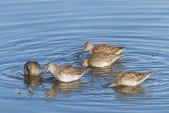Många snäppor som söker efter föda för mat i grunt vatten royaltyfri bild
