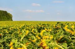 Många solrosor på fältet under blå himmel Royaltyfria Foton