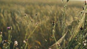 Många spindelnät och spindeln väver en rengöringsduk stock video
