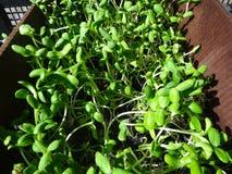 Många spirar den nya gröna solrosen att växa i asken Royaltyfria Bilder