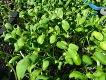 Många spirar den nya gröna solrosen att växa i korgen Royaltyfria Bilder
