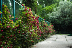 Många steg den härliga blomman med droppar Royaltyfri Bild