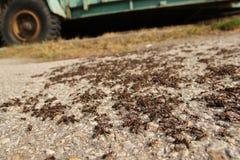Många stora myror på vägen arkivfoto