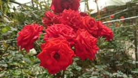 Många stora röda rosor i vårtid arkivfoton