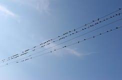 Många svalor som sitter på trådkraftledningar Fåglar på trådar gillar Arkivbild