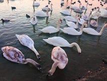 Många svanar i sjön en flock av svanar som förvanskar över mat på en flod I föräldrarna för sjösvansvan och deras royaltyfria foton